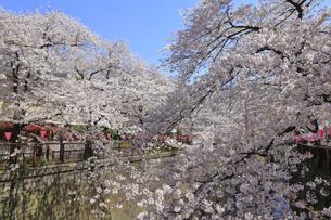 目黒川の桜の写真素材 [FYI04772800]