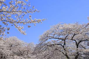 目黒川の桜の写真素材 [FYI04772801]