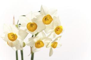 白背景の日本水仙の写真素材 [FYI04772812]