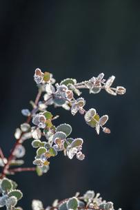 霜がついた木の枝の写真素材 [FYI04772987]