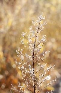 霜がついた木の枝の写真素材 [FYI04772989]