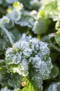 霜のおりた草むらの写真素材 [FYI04772992]