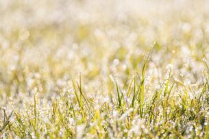 霜のおりた草むらの写真素材 [FYI04773006]