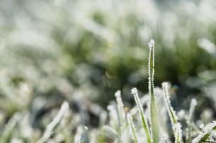 霜のおりた草むらの写真素材 [FYI04773025]