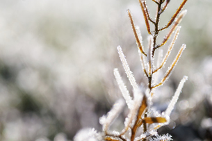 霜のついた枝の写真素材 [FYI04773026]