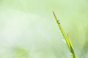 氷のついた草の葉の写真素材 [FYI04773039]