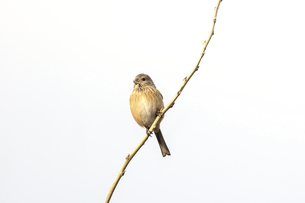 細い枝にとまるベニマシコのメスの写真素材 [FYI04773231]