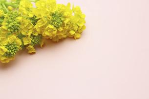 ピンクの和紙に置いた菜の花の写真素材 [FYI04773234]