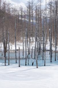 氷が溶け始めた青い池の写真素材 [FYI04773304]
