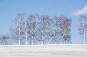 融雪剤が撒かれた雪の畑とシラカバ並木の写真素材 [FYI04773310]