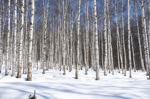 冬のシラカバ林の写真素材 [FYI04773320]