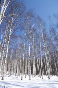 冬のシラカバ林と青空の写真素材 [FYI04773321]