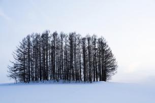 雪の丘の上のカラマツ林の写真素材 [FYI04773326]
