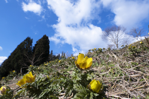 フクジュソウの花の写真素材 [FYI04773328]