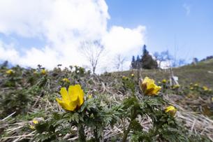 フクジュソウの花の写真素材 [FYI04773329]