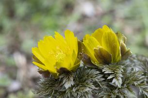 フクジュソウの花の写真素材 [FYI04773334]