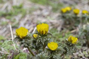 フクジュソウの花の写真素材 [FYI04773335]