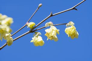 ヒュウガミズキの花の写真素材 [FYI04773348]