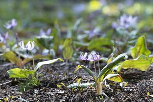 カタクリの花の写真素材 [FYI04773350]