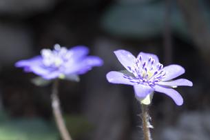 雪割草の花の写真素材 [FYI04773351]