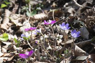 雪割草の花の写真素材 [FYI04773352]