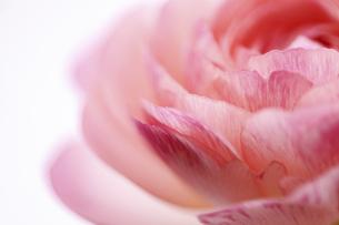 ピンクのラナンキュラスのクローズアップの写真素材 [FYI04773389]
