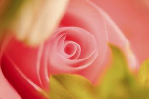 ピンクの薔薇のクローズアップの写真素材 [FYI04773391]