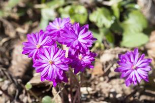 雪割草の花の写真素材 [FYI04773421]