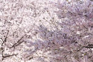 満開の桜の花の写真素材 [FYI04773516]