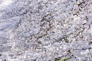 満開の桜の花の写真素材 [FYI04773517]