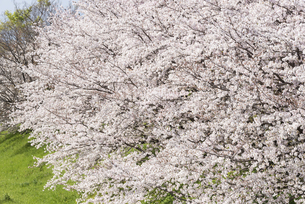 満開の桜の花の写真素材 [FYI04773518]