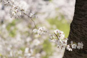 幹から出た桜の花の写真素材 [FYI04773519]