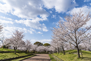 桜の咲く公園の写真素材 [FYI04773522]