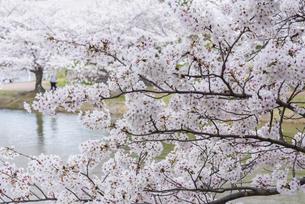 桜の咲く水辺の公園の写真素材 [FYI04773523]