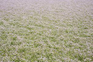 一面のレンゲ畑の写真素材 [FYI04773526]