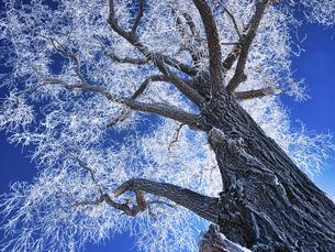 霧氷と青空の写真素材 [FYI04773643]