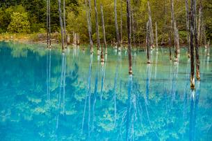 北海道美瑛町:白金青い池の水面の写真素材 [FYI04773724]