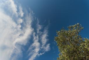 オリーブと青空の写真素材 [FYI04773908]