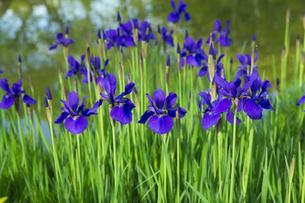 庭園の花菖蒲の写真素材 [FYI04773952]