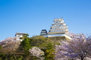新生姫路城と桜の写真素材 [FYI04773960]