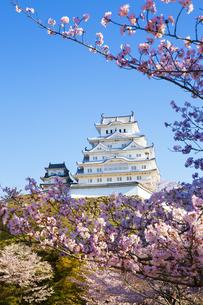 新生姫路城と桜の写真素材 [FYI04773964]