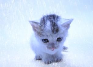 雨に打たれる子猫の写真素材 [FYI04773970]