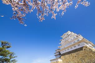新生姫路城と桜の写真素材 [FYI04773976]