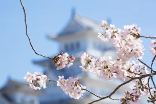 ソメイヨシノと姫路城の写真素材 [FYI04773982]