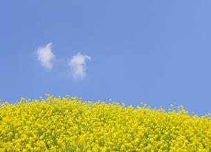 菜の花畑と浮き雲の写真素材 [FYI04773996]