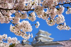 ソメイヨシノと姫路城の写真素材 [FYI04773997]