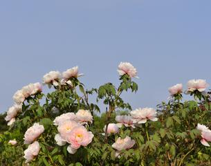 牡丹の花の写真素材 [FYI04773999]
