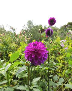 イングリッシュガーデンのダリアの花の写真素材 [FYI04774001]