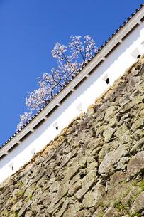 姫路城の漆喰土塀と桜の写真素材 [FYI04774003]