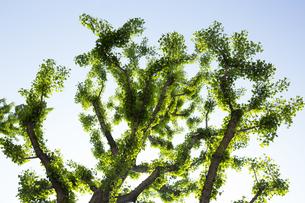 新緑の銀杏の木の写真素材 [FYI04774026]